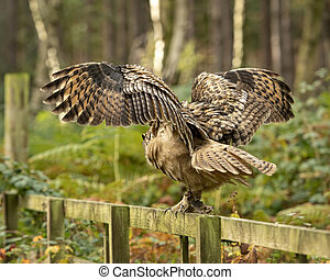 Spread wings of the Eurasion Eagle Owl