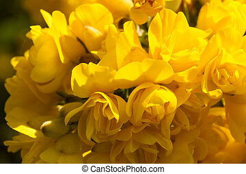 Ulex europaeus, gorse, common gorse, furze or whin. flowers...