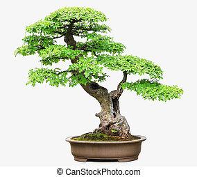 ulme, bonsai