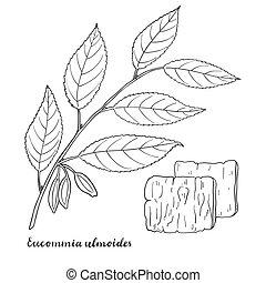 ulmoides, gumi, (hardy, tree)., eucommia