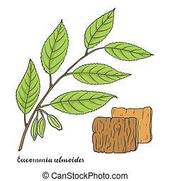 ulmoides, gummi, (hardy, tree)., eucommia