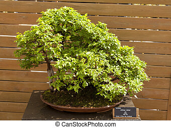 Bonsai elm field is by far the most polymorphic of the European species