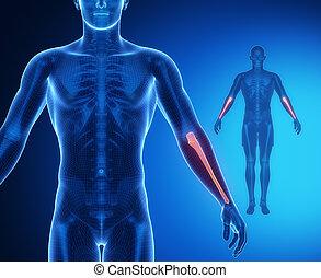 ULNA bone anatomy x-ray scan