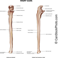Ulna- from front and radial side - Ulna. Detailed medical...