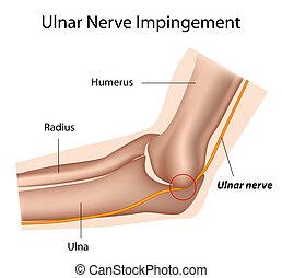 Ulnar nerve and cubital tunnel,eps8 - Ulnar nerve and...