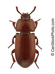 Uloma culinaris, darkling beetle, isolated on a white background