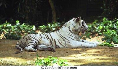ultra, video, tiger, 4k, shade., zadyszany, biały, hd