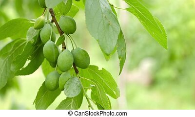 Branch of plum tree with green fruits close up
