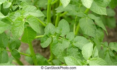 Growing potatoes in a field. Green leaves close up