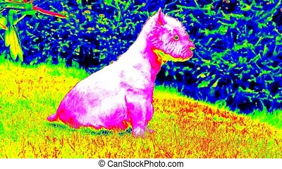 Ultraviolet scan. West Highland White Terrier sitting on the fresh green grass in the garden. The dog watches the surroundings and is alert. Infra thermo camera view