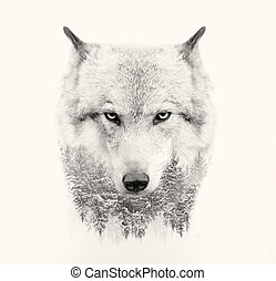 ulv, ansigt på, hvid baggrund, dobbel eksponering
