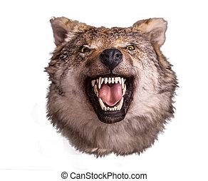 ulv hovede, hos, vrede, ansigt på, hvid baggrund