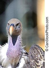 um, adulto, vulture, é, esperando, para