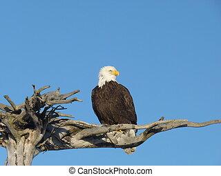 um, alaskan, águia calva, (haliaeetus, leucocephalus), sentando, orgulhosamente, ligado, um, madeira, ramo, contra, um, luminoso azul, céu