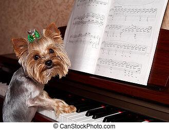 um, ano, terrier yorkshire, tocando, piano., engraçado, tiro