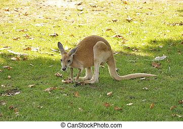 um, canguru vermelho