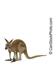 um, canguru vermelho, isolado