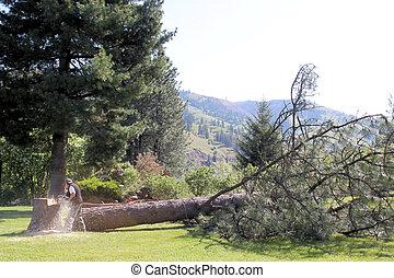 um, downed, árvore