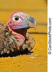 um, filhote cachorro, de, vulture