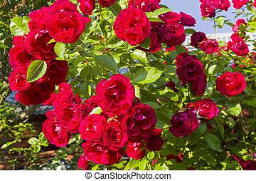 um, florescendo, escalando, rose.