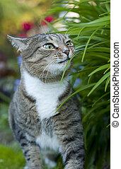 um, gato tabby, em, a, capim
