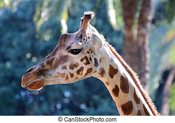 um, girafa