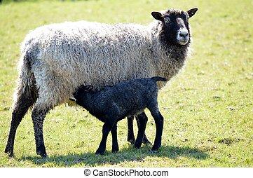 um, gotland, ovelha, e, cordeiro