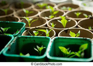 um, grupo, bebê, plantas, crescendo, interior, potes, interior, um, estufa, nursery.