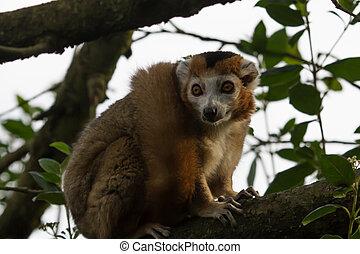 um, lemur coroado