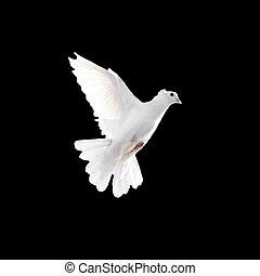 um, livre, voando, pombo branco, isolado, ligado, um, experiência preta