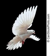 um, livre, voando, pombo branco, isolado, ligado, um, pretas