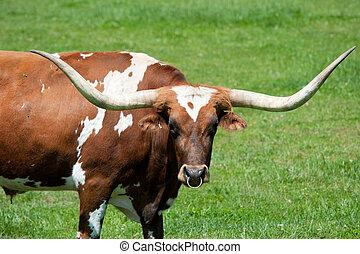 um, longhorn, touro