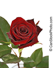 um, rosa vermelha