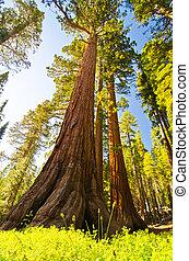 um, sequoia gigante, em, parque nacional yosemite