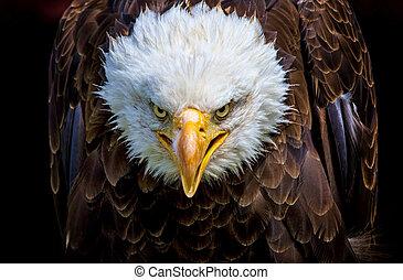 um, zangado, norte-americano, águia calva