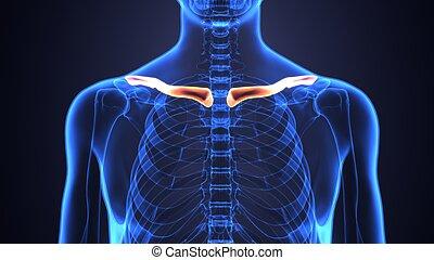 uman, squelette, côtes, à, colonne vertébrale, anatomie, vue antérieure, 3d, render