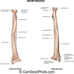 umano, destra, raggio, osso