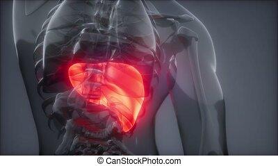 umano, fegato, radiologia, esame
