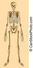 umano, illustrazione, scheletro