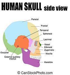 umano, lato, cranio, vista