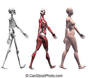 umano, muscoli, scheletro, femmina