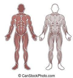 umano, muscoli, silhouette