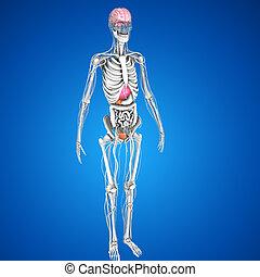 umano, organi