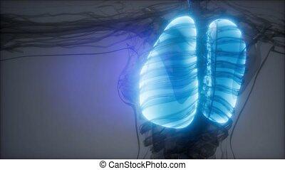 umano, polmoni, radiologia, esame
