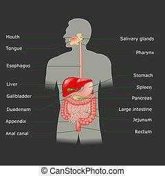 umano, vettore, sistema, digestivo