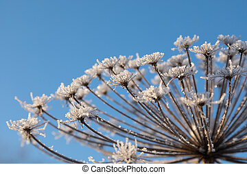 Umbelliferous plant cow-parsnip in winter