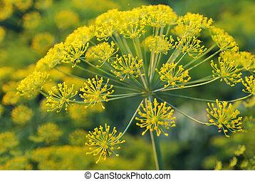 umbelliferous, växt, dill., eurasisk, aromatisk