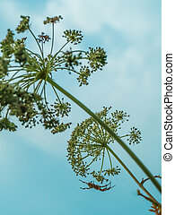 Umbrella grass hogweed and spider - UmbreA spider hangs on a...