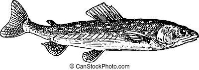 umbrine, 型, fish, engraving.