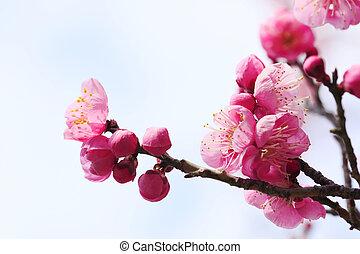 UME Japanese plum-blossom in Osaka Japan